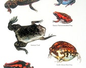 Frogs African Clawed Toad, Mexican Burrowing Toad, Termite Frog, South African Rain Frog Vintage 1980s Book Plate Page