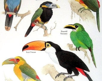 Laminated Toucan, Spot Billed Toucanet, Curl Crested Aracari, Saffron Toucanet Vintage 1984 Birds Book Plate