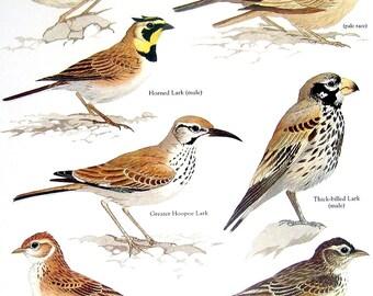 Larks - Skylark, Horned Lark, Singing Bushlark, Desert Lark - 1984 Vintage Birds Book Page