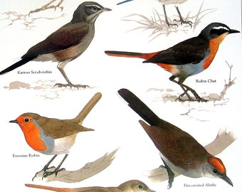 Bird Print - White Browed Shortwing, Eurasian Robin, Fire Crested Alethe, Nightingale, Robin Chat - 1984 Vintage Birds Book Page