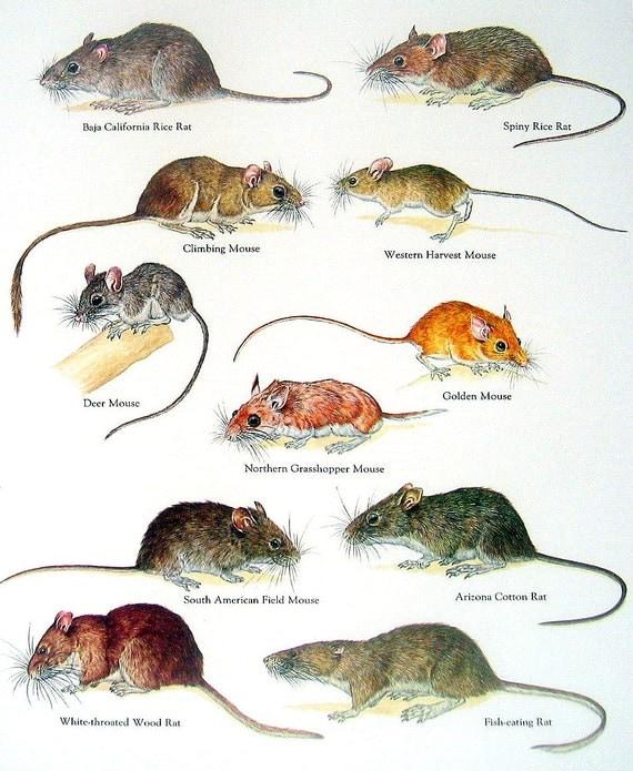 ratten uitwerpselen
