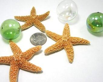"Beach Decor Small Sugar Starfish -  Nautical Wedding or Craft Star Fish,  1"" or LESS,  6PC"
