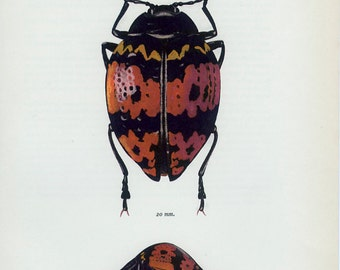 Vintage BEETLE Print, Zig-zag, Pleasing Fungus or Erotylus (87) Tropical, brazilian, Vladimir Bohac, 1965, Bug Creepy Crawly