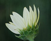 White Flower - 8x12 fine art photo - dreamy romantic floral art, made in Israel, flower photography, nature photograph