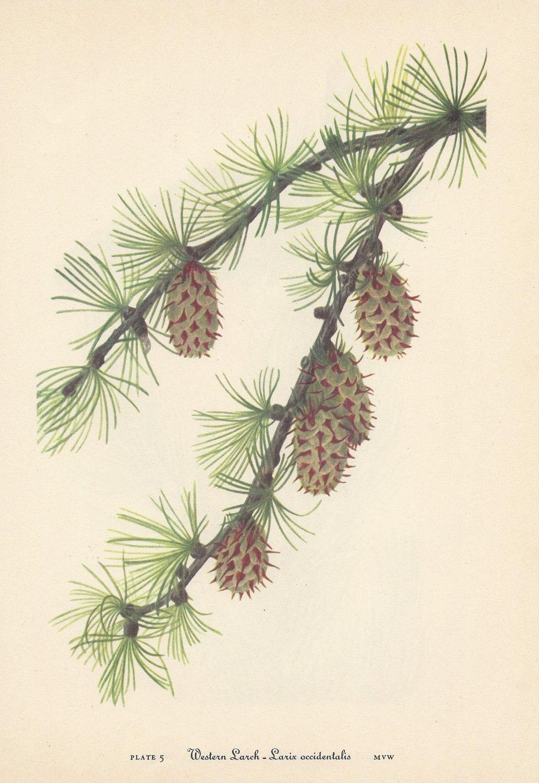 Vintage Botanical Print Pine Cones Evergreen Western Larch