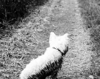 I am Crumpet 11 - Dog Photography - Westie - West Highland terrier - Wall Décor