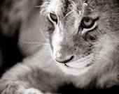 Lion Cub Photograph - Wildlife Art Photography - Black and White Animal Home Decor - Monochrome Fine Art Photography