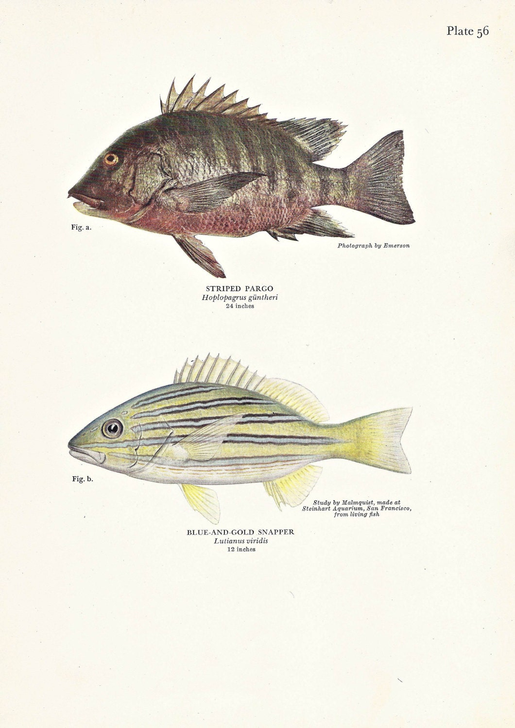 Sale fish print snapper beach decor fishing masculine home for Your inner fish sparknotes