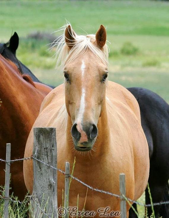 Palomino Horse Photography, cream horse photo, equine art, animal photography, rustic western decor, fine art print