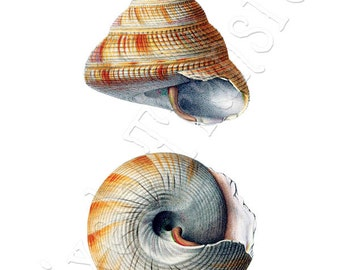 SEASHELL Instant Download Digital downloads large digital image, orange illustration 133