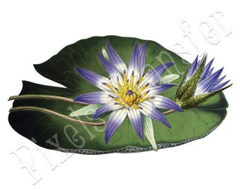 WATER LILY Instant Download wedding illustration blue lilly large digital download 148