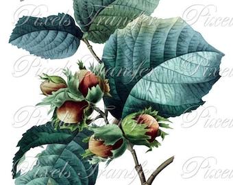 HAZELNUTS Instant Downloads Digital Downloads, Redoute botanical illustration, NUTS clipart 195