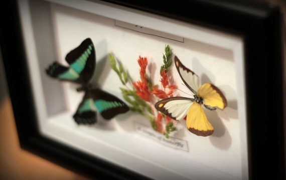 Mounted butterflies, insect display, organic wall decor