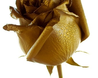 Golden Rose photo Digital Download Photography gold and white flower wall art