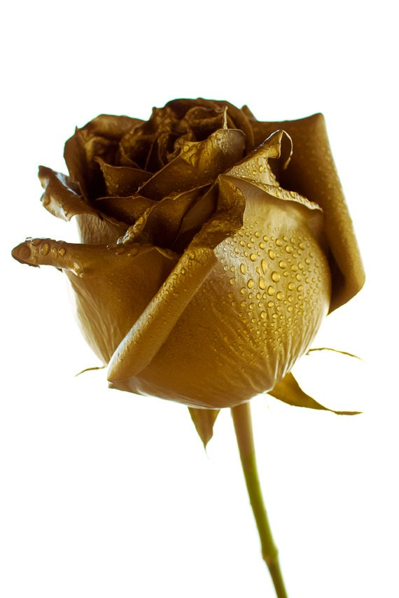 Golden Rose Photo Digital Download Photography Gold And White