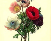 Redoute Botanical Print -  Anemone - 7