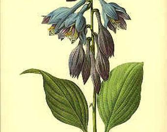 Redoute Botanical Print -  - Hosta - 53
