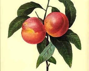 Redoute Botanical Print -  - Peach - 95