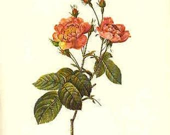 Redoute Botanical Rose Print  48