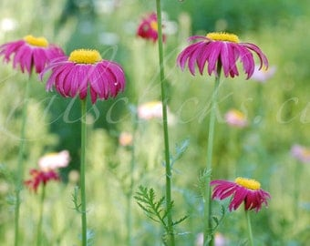 Pink Yellow Aster Flowers Print Striking Reach for Your Home or Office Wall Decor Fushia, Floral, Nature, Soothing Images