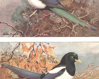 Vintage Bird Print, Book Plate, Magpies, American Magpie, Yellow Billed Magpie, Allan Brooks, Antique Bird Illustration, 1930s