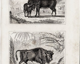 1835 antique ASS and OX engraving by Buffon and Cuvier,  sweet ass with your baby ass, 177 years old