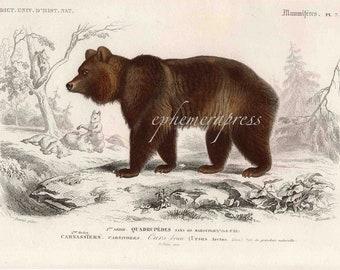 BEAR safari series forest animal mammal print