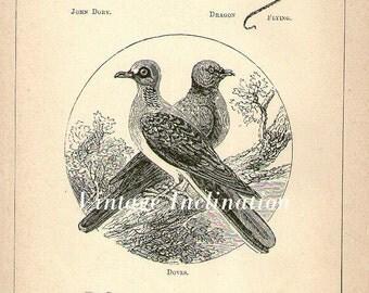 1871 ANTIQUE Doves Art Print, Engraving, bird birds 1800s print plate 41