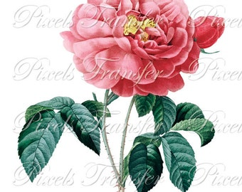 ROSES Instant Download, wedding clipart Digital Image botanical illustration rosa gallica Redoute 071