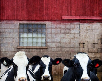 """Dairy Cow Rustic Barn Fine Art Photo, Kitchen Decor, Cottage Chic, Wall Art, Vintage Barn, Red, Black, White, """"Dairy Maidens"""""""