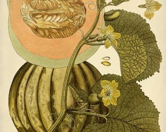 Botanical Art, Cantaloupe Art Print, Cantaloupe Poster, Botanical Illustration, Vintage Melon Print, Garden Art, Wall Art, Giclee Summer Art