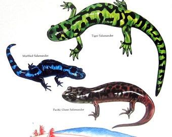 Salamanders Print - Spotted Salamander, Tiger Salamander, Marbled Salamander, Pacific Giant Salamander  - Vintage 1980s Book Plate Page