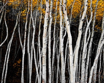 Aspen Trees Colorado Fall Forest Aspens Evening Autumn Golden Leaves Wall Art Rustic Cabin Lodge Photograph