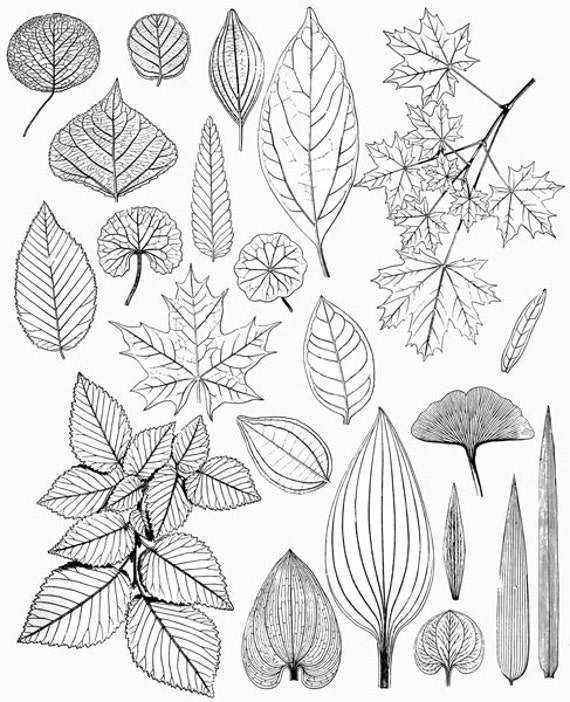 leaves leaf drawings victorian nature illustrations black