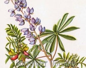 Wild Lupine Goat's Rue Flower Vintage 1950s Botanical Lithograph Art Print To Frame 94