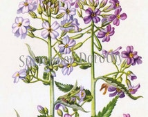 Purple Rocket Flower Botanical Lithograph 1950s Vintage Art Print to Frame Herperis Matonalis 79