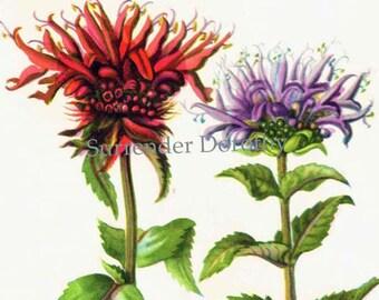 Beebalm Oswego Tea  Monarda Didyma Flower Botanical 1950s Vintage Wildflower Art Print To Frame 168