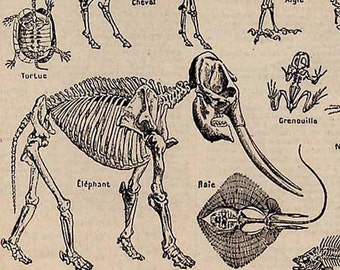 Skeleton Mammal Fish Reptile French Dictionary Paris France Natural History Anatomy Chart To Frame