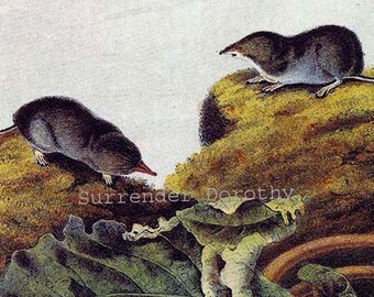 Say's Least Shrew Audubon Vintage Wild Animal Color Lithograph Natural History Print To Frame