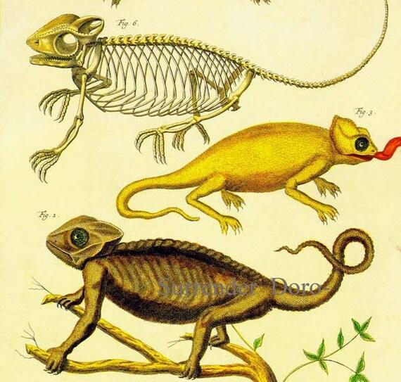 Chameleons Seba Herpetology Natural History Lithograph Chart Poster Print To Frame