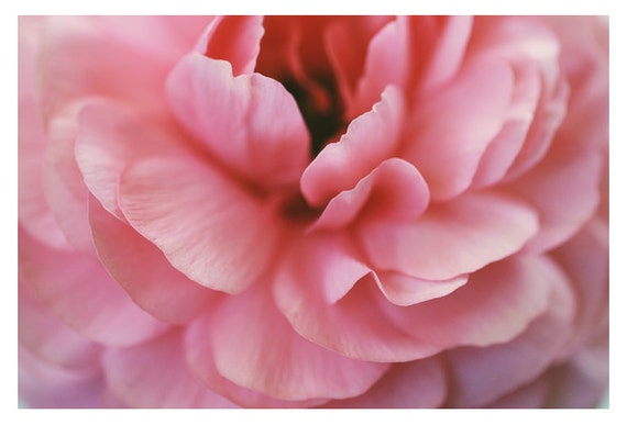 Photography - Flower Photograph - Nature Photography - Pink -  Ranunculus - Foxtrot -  Spring - Original Art Photograph - Oversized Art
