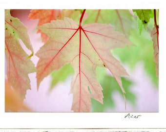 Three Greeting Cards // Maple / Clematis / botanical / berries