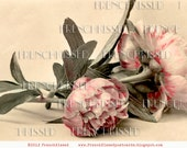 Instant Download Pink Camelias French Postcard