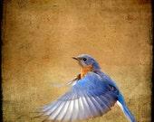 Bluebird Photograph, Blue Bird Print, Nature Photography, Flying Bird, Flight, Wings, Feather, Blue, Brown  - Bluebird on the Wing