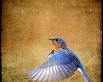 Bluebird Photograph, Blue Bird Print, Nature Photography, Flying Bird, Flight, Wings, Feather, Blue, Brown  - Bluebird on the Wing