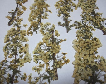 Dried Pressed Flowers for Crafting - Real Bridal Wreath