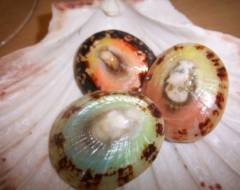 Beach Decor -3 whole dyed limpet shells-Includes the scallope shell