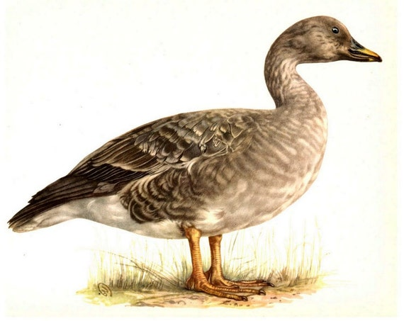 Duck Duck Goose - Vintage Birds Book Plate - 1970