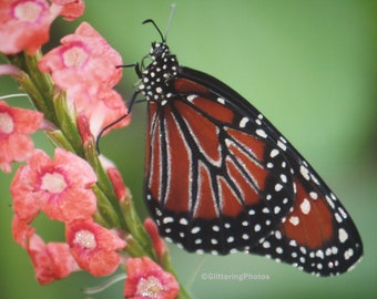 Monarch Butterfly, Phipps Conservatory, Pittsburgh, PA, Fine Art, Photograph, Print, 8 x 10, Glossy OOAK
