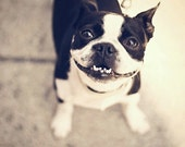 Smiley Pup - Photography, dog, boston terrier, smile, happy, puppy, cute, cheerful, adorable, puppy